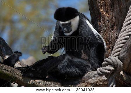 Mantled guereza (Colobus guereza), also known as the guereza. Wild life animal.