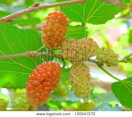 The fresh mulberry closeup on the tree