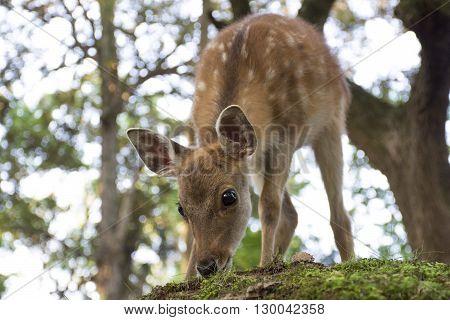 Baby deer grazing in the park - Nara, Japan