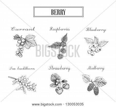 Blueberries raspberries currants sea buckthorn strawberries and mulberries vector illustration. Set of berries skech.