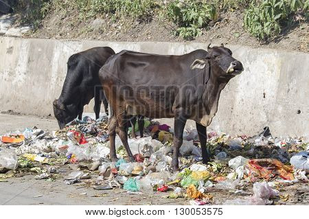RISHIKESH INDIA - OCTOBER 19 2014 : Cow eat rubbish in Rishikesh India