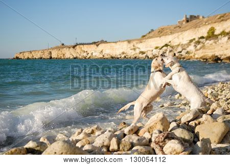 two dogs fighting each other on the background of  sea and  rocks