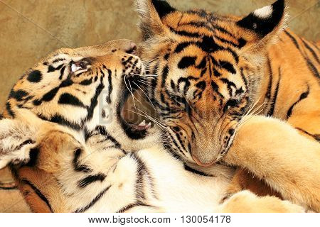 Two tiger cubs play fighting in Thailand against a beautiful yellow wall