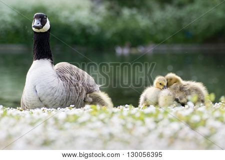 Canada goose (Branta canadensis) adult with goslings. Young chicks sitting in evening sunshine on grass with daisy flowers with one seeking warmth under parent