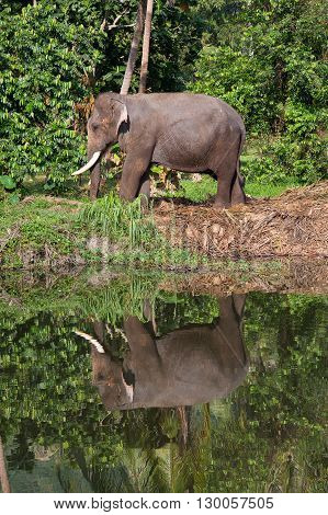 Thai elephant he is going to drink the water in the lake