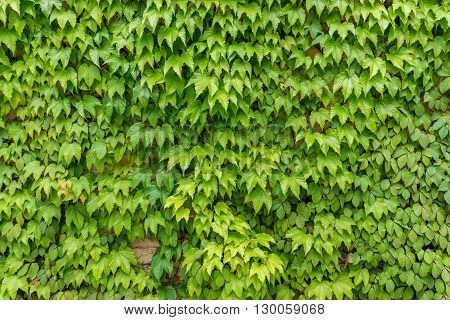 Abstract plant wall background The Green creeper plant on the house wall