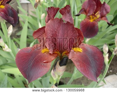Iris germanica 'Cagliari' garnet bordo  flower .
