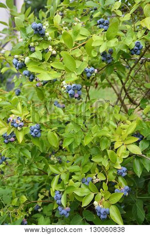 Highbush blueberry plant with fruits. Organic garden