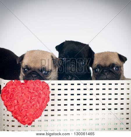 Four cute pug puppies in a box in studio