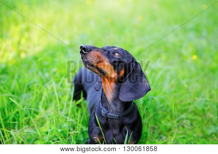 Black Smooth-haired Dachshund Among The Green Grass Look Up