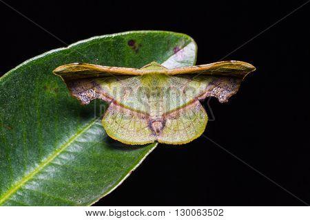 Fascellina Plagiata Moth