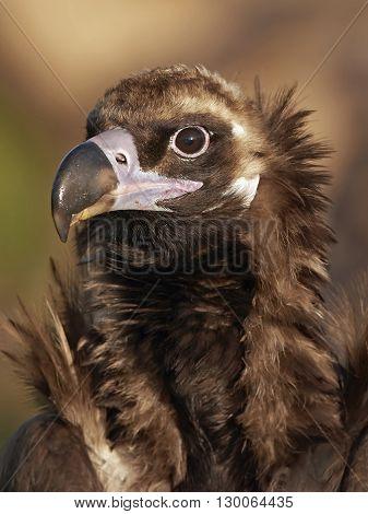 Closeup portrait of a wild eurasian Black vulture (Aegypius monachus)