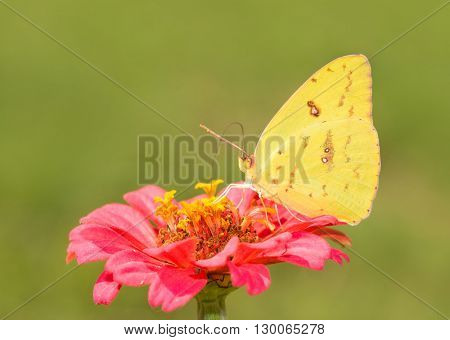 beautiful, bright yellow female Cloudless Sulphur butterfly feeding on a pink Zinnia flower with green background