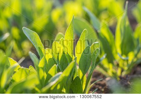 Detail on a Young spinach leaves in a vegetable bed of Garden in Springtime