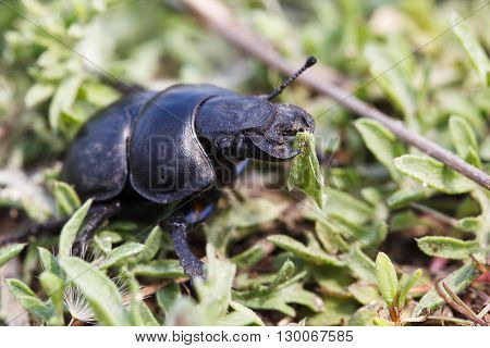 Black Beetle on the  grass in sunlight.