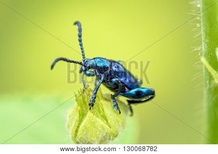 Close up Chrysolina coerulans beetle with shiny metallic blue on grass flower