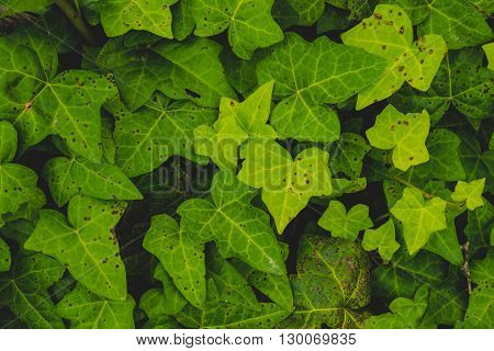 Background of beautiful leaves of ivy, overhead shots
