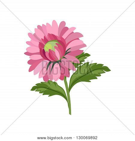 Aster Hand Drawn Realistic Flat Vector Illustration In Artistic Painting Style On White Background
