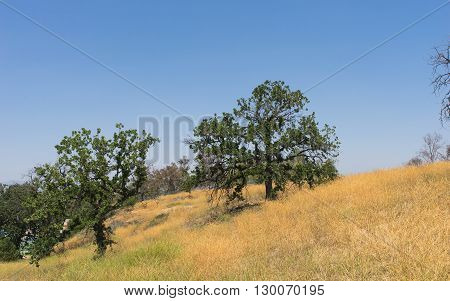 Yellow California hillside covered with green oak trees.