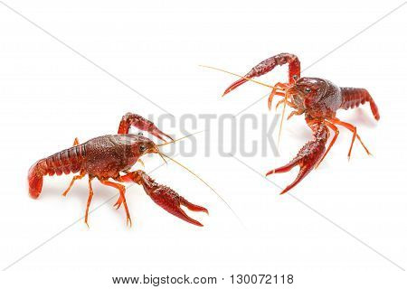 Red crayfish fighting , on white background