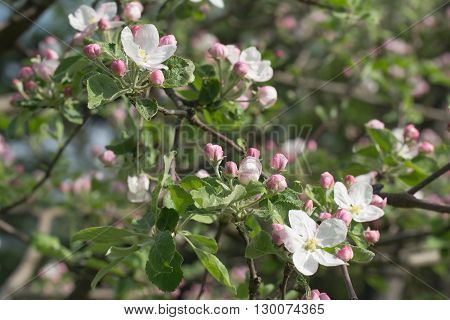 A blooming branch of apple tree in spring. Fruit tree.