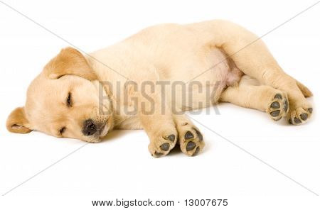 Labrador Retriever Puppy Sleeping