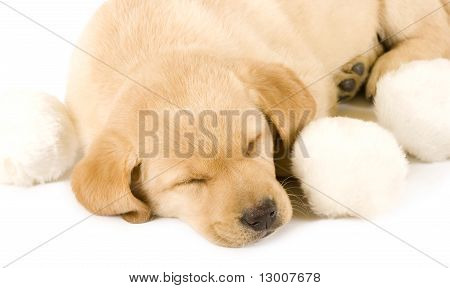 Sleepy Puppy Labrador Retrieve