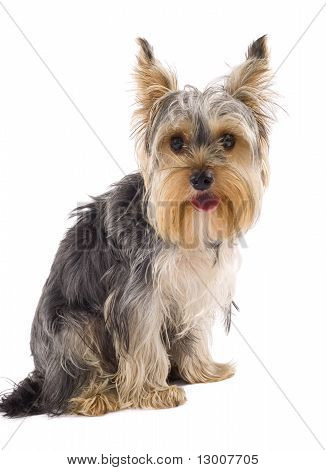 Yorkie Puppy Isolated On White