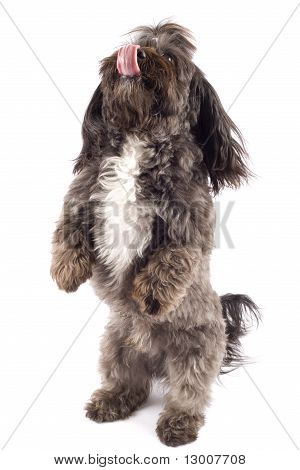 Havanese Dog Standing On His Hind Legs