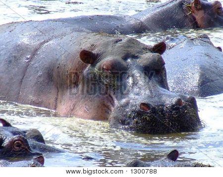 Hippo Upclose