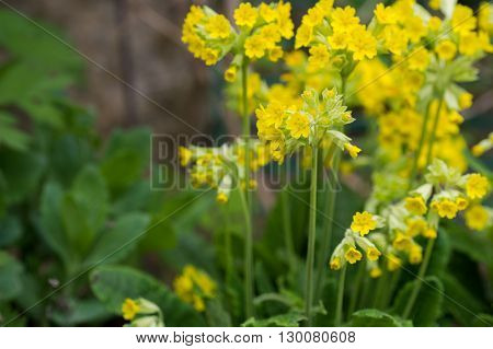 SA group of spring Cowslip plant background copy space