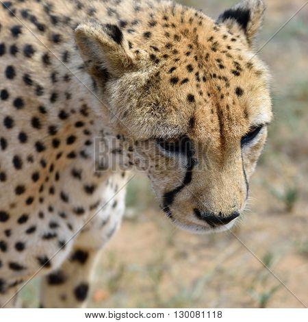 Africa. Namibia. Cheetah