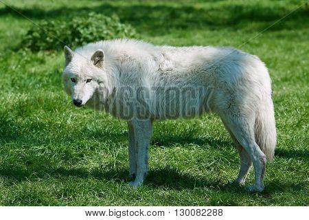 Arctic wolf (Canis lupus arctos) standing in grass in its habitat