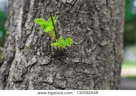 green sprout on the tree. New top leaves sprouting from brown bark of old trunk