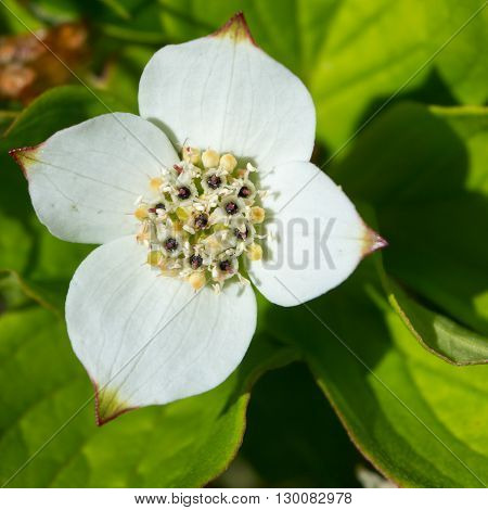 Four white petals form the outside of a bunch berry flower