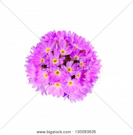 Purple Flower Primrose on a Light Background