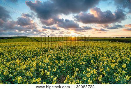 Beautiful Mustard Seed Fields