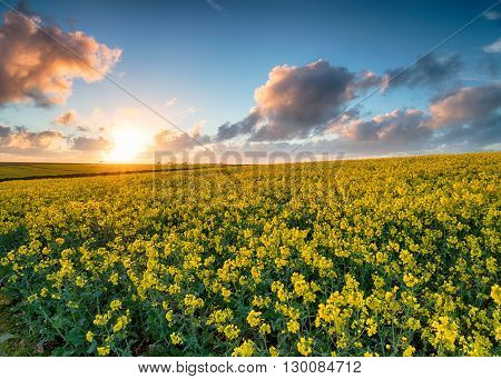 Fields Of Canola In Bloom