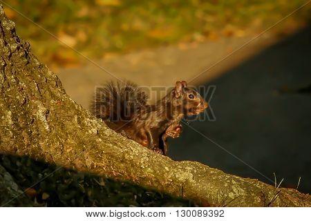 A melanistic eastern grey squirrel. Taken in Kentucky.