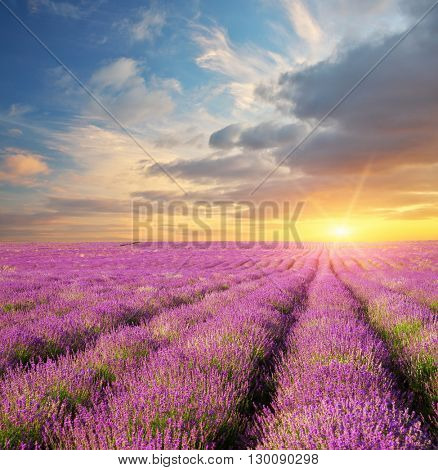 Lavender beautiful meadow. Spring time. Nature composition.
