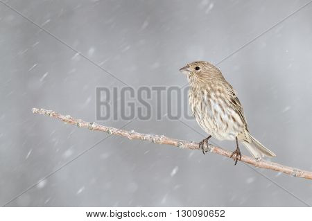 A female House Finch. Taken during the winter in Kentucky.