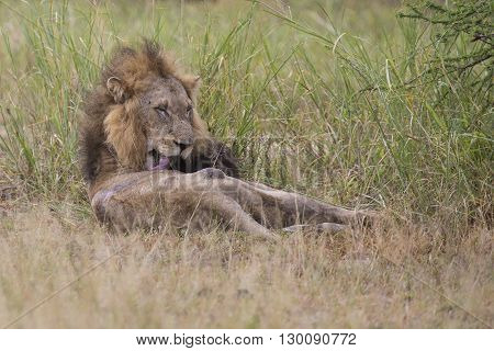 Injured old lion male lying to rest in the grass and lick his wounds