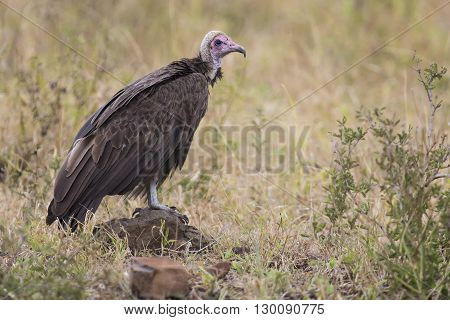 Ugly hooded vulture standing in green grass waiting to eat