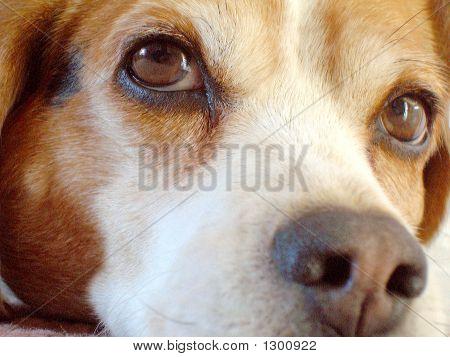 Beagle hautnah