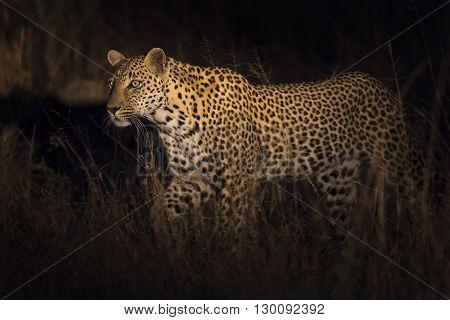 Leopard walking in darkness hunting nocturnal prey in a spotlight