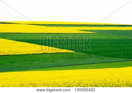Agricultural fields sown with colza and wheat young.