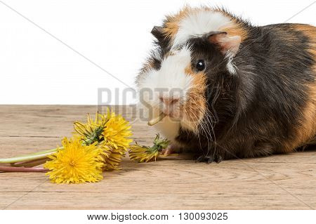 Beautiful guinea pig sits on an old wooden table and eats yellow dandelion