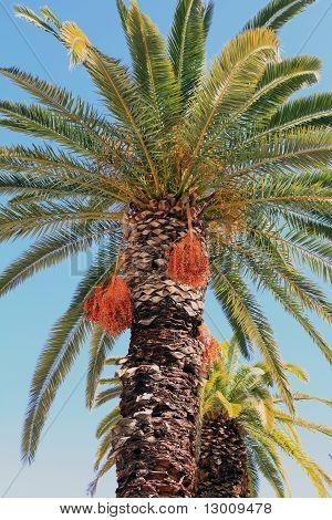 Cretan Palm Trees