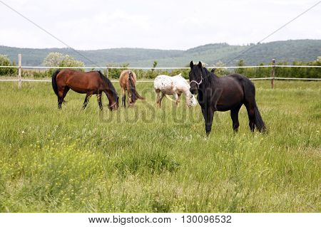 Herd Of Beautiful Horses.  Young Horses Grazing In A Meadow Near The Farm