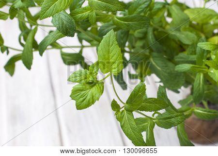 Growing Mint Fresh As